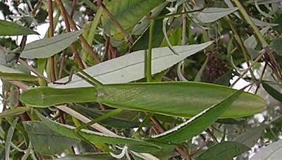 Praying Mantis - Top View