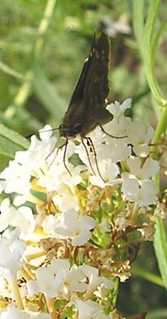 Possible Female Leonard's Skipper Butterfly or Female Sachem Skipper Butterfly - Any comments?