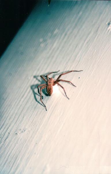Nursery Web Spider with Egg Sac on Abdomen - Summer 2004
