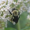 Bee on Butterfly Bush