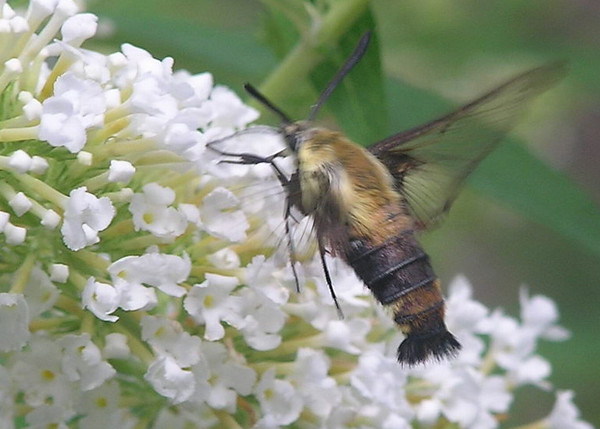 Hummingbird Moth (Hemaris thysbe) Loves the Butterfly Bushes