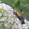 Hummingbird Moth (Hemaris thysbe) Loves the Butterfly Bushes