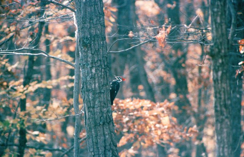Pileated Woodpecker - Fall 2004