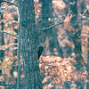 Pileated Woodpecker - Fall 2004