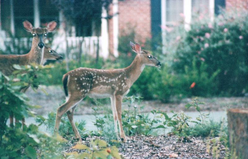Deer in Front Yard at Daybreak - Summer 2004