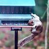 Tenacious Squirrel Before We Had Baffles on Feeders