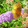 Spangled Fritillary Butterfly on Butterfly Bush