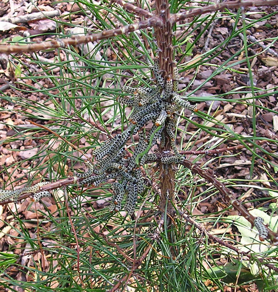 Red-Headed Pine Sawflies