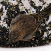 Rescued Finch With Conjunctivitis Disease
