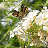 Possible Female Leonard's Skipper Butterfly or Female Sachem Skipper Butterfly - Any comments?