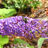American Lady Butterfly, Bee and Japanese Beetles