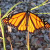 Monarch Butterfly with Shadows of Grass on His Wings