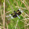 Whitetailed Dragonfly