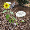 Squirrel-Planted Sunflower Memorial for Cats