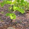 Tenacious Redbud Tree