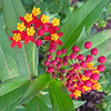 First Blooms of the Butterfly Weed