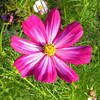 Cosmos from Lorraine