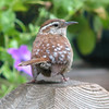 Aren't I the Cutest - Carolina Wren