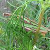 Praying Mantis' Mating