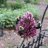 Three Bees Love This Allium Bloom - A New Addition to the Garden