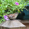 Singing for My Supper - Carolina Wren