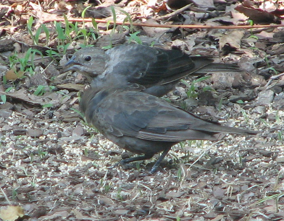 Juvenile Brown-headed Cowbirds in Backyard Eating Millet