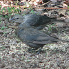 Juvenile Brown-headed Cowbirds in Backyard Eating Millet