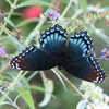 Red-spotted Purple Admiral Butterfly (Male)