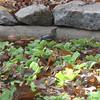 Cedar Waxwing Drinking from Water Lettuce