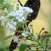 Underside Shot of Monarch Butterfly Feeding