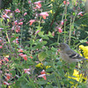 Finches Love the Salvia Seeds