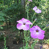 Growing Tall Petunias