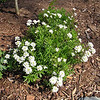 Candytuft in Bloom