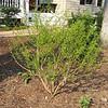 Pretty Willow Tree is Growing Despite Deer Pruning