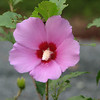 Rose of Sharon with Pollen