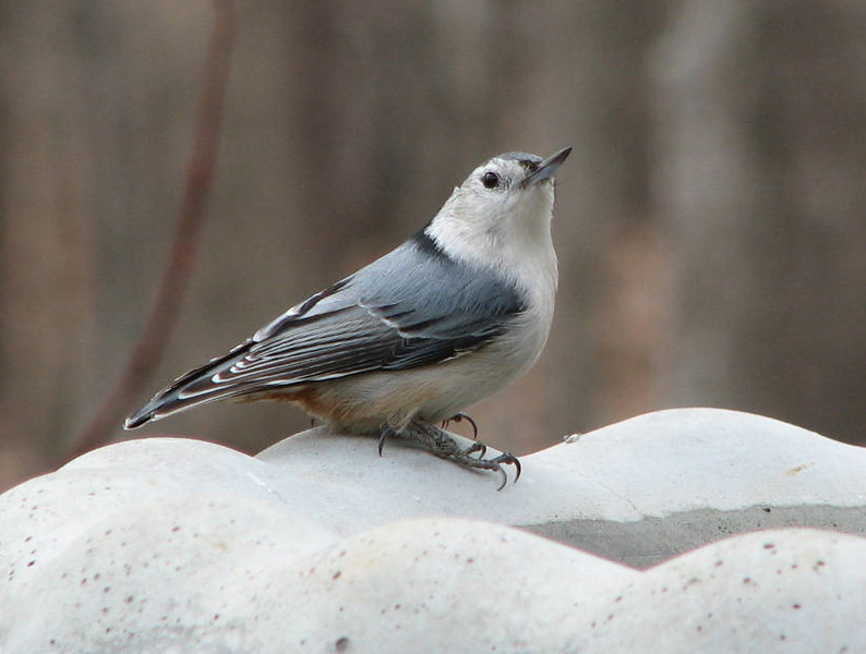 Always Watching for the Hawk - White-breasted Nuthatch