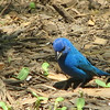 Male Indigo Bunting Looking for Another Seed or Bug