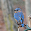 Women Always Find Some Way to Mother Something - Male Eastern Bluebird