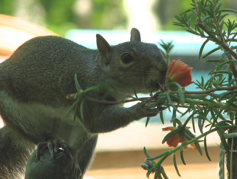 Squirrel Taking Time to Smell the Roses or Is He Licking Them