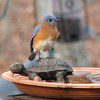 The Best Use I Have Is To Play King of the Hill and I'm King - Male Eastern Bluebird