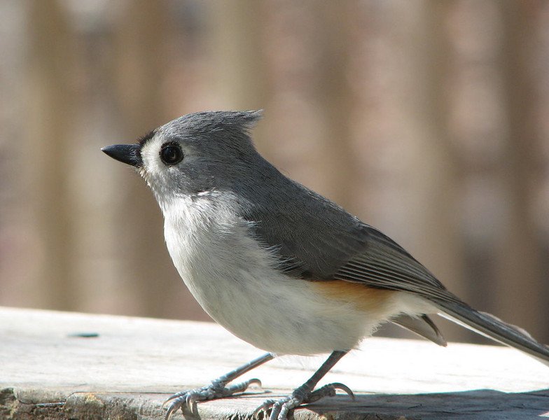 She's Playing Hard to Get - Tufted Titmouse