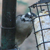 Downy Woodpecker That Prefers Clinging to the Pole Rather Than the Suet Feeder
