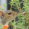 I Want THAT One - Eastern Gray Squirrel