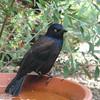 Migrating Common Grackle on Birdbath in Front