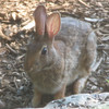 What a Little Sweetheart - Eastern Cottontail Rabbit