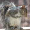 Saying Grace Before Eating - Eastern Gray Squirrel