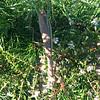 10-9  Praying Mantis Asleep Early Morning