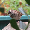 White-throated Sparrow on Deck Post