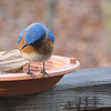 Did We Drop Any on the Deck - Male Eastern Bluebird