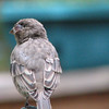 House Finch With Disease